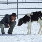 Feeder Calf 1