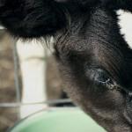 Calf-Program