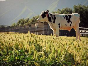Calf Program